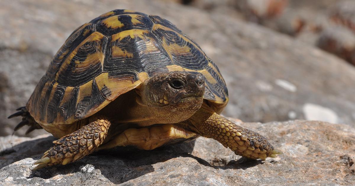 protection de la tortue d hermann le plan d action est soumis à