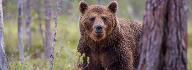 Pyrénées-Atlantiques: François de Rugy confirme le lâcher de deux ourses en octobre