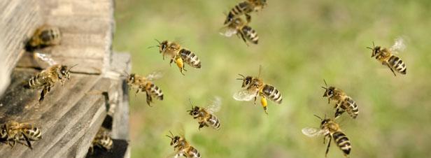 Risques des pesticides sur les pollinisateurs: Pollinis dénonce l'opacité de la Commission européenne