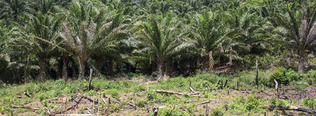 Le gouvernement refuse de modifier la fiscalité favorable à l'huile de palme