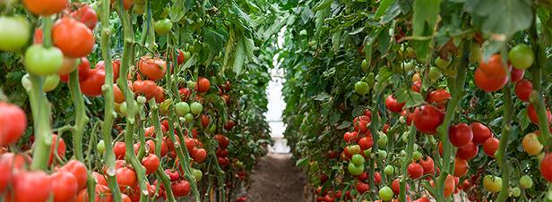 Agriculture bio : des serres chauffées, mais sous conditions