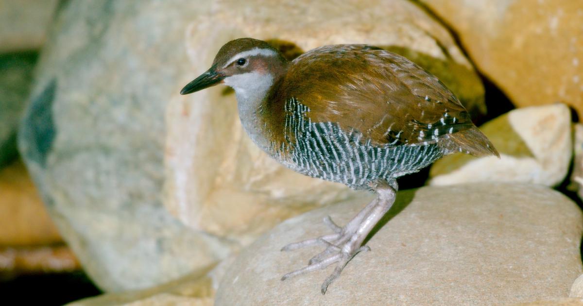Biodiversité: le statut de dix espèces menacées s'est amélioré, selon l'UICN