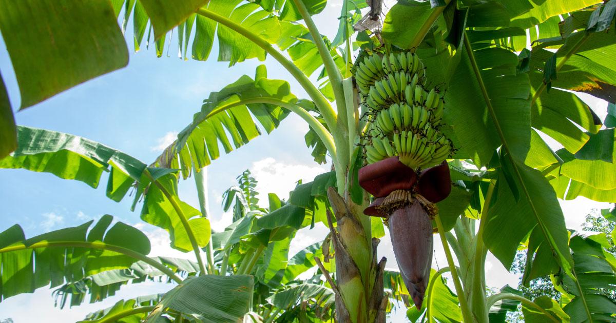 Certificats d'économie de produits phytos: une expérimentation en Outre-mer en 2022?