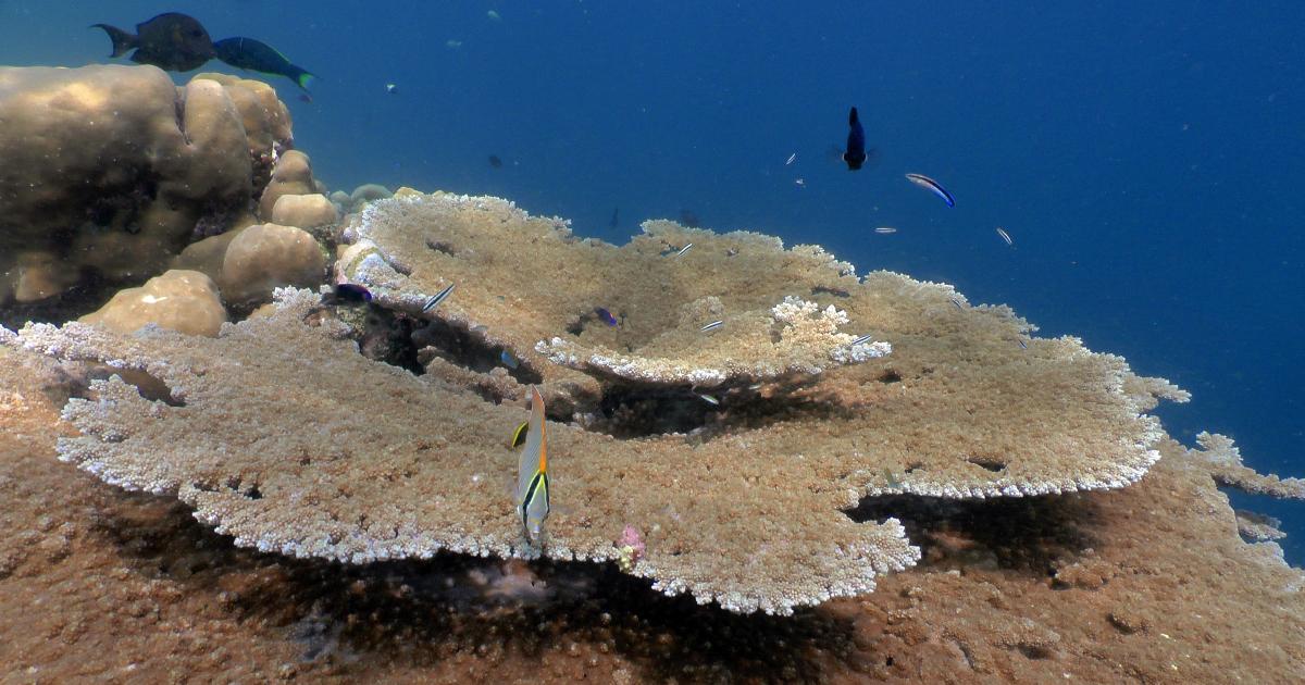 Des coraux des îles françaises de l'océan Indien menacés de disparition