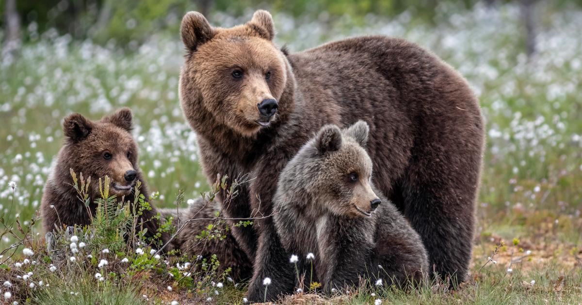 Ours dans les Pyrénées: révision de la feuille de route «Pastoralisme et ours» pour la saison 2020