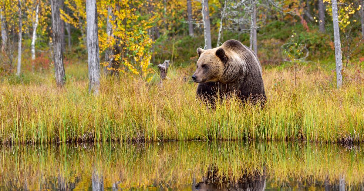 Mort d'un ours en Ariège: l'État et des ONG vont porter plainte
