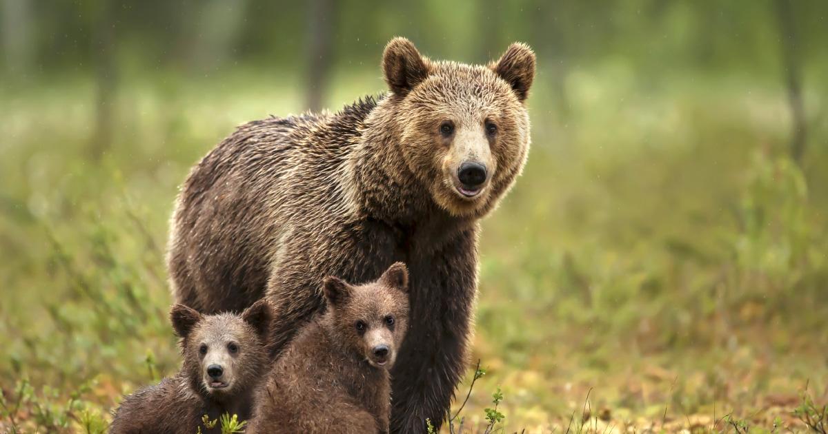 Ours: les mesures d'effarouchement sont reconduites