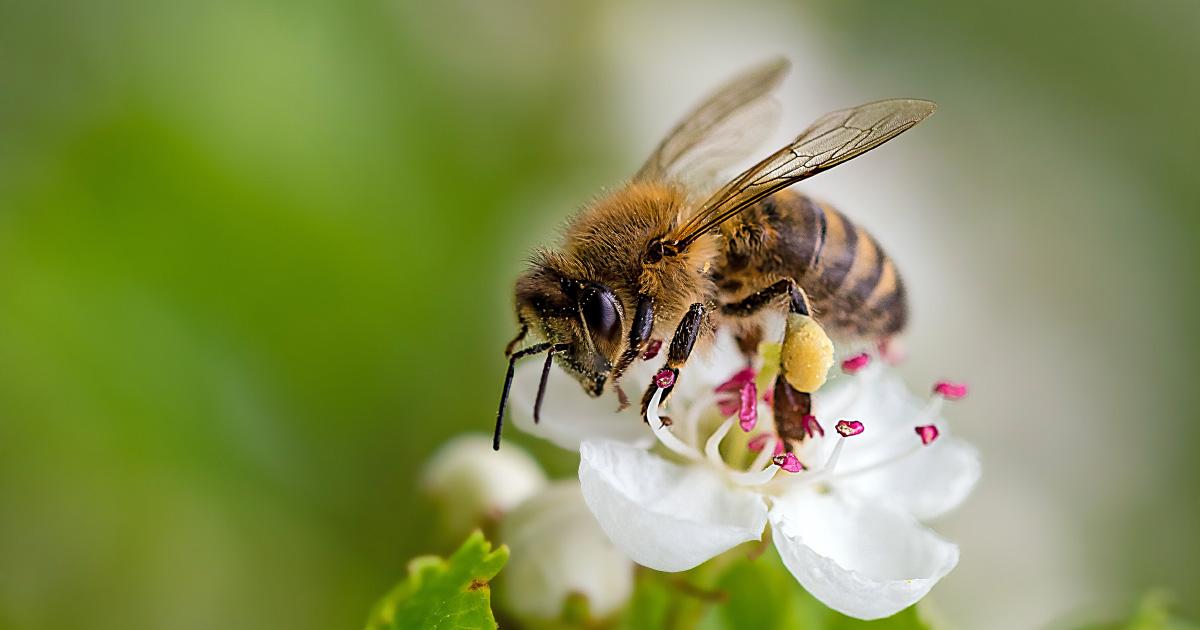 Abeilles et tests des pesticides: Pollinis saisit le Tribunal de l'Union européenne
