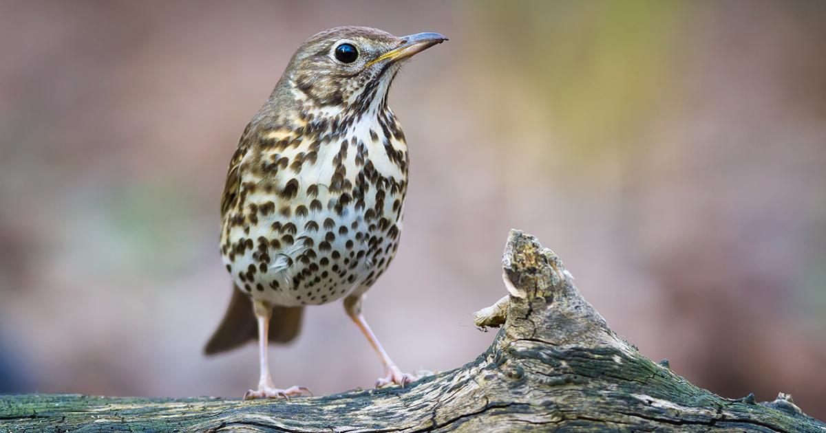 Chasse des oiseaux sauvages: la France est-elle prête à respecter le droit européen?