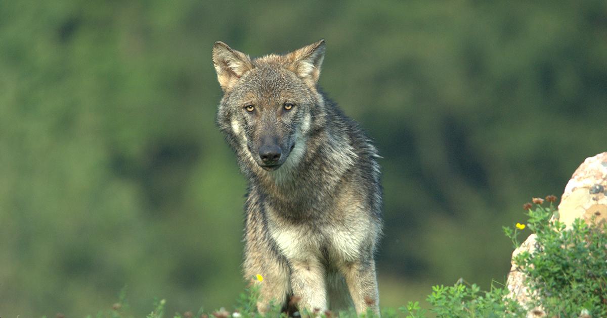 Loup: le nouveau dispositif d'intervention en consultation
