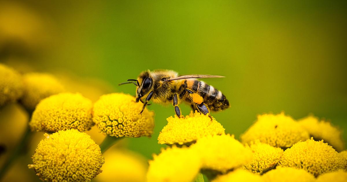 Pesticides et abeilles: l'Efsa réactualise ses données sur les taux de mortalité