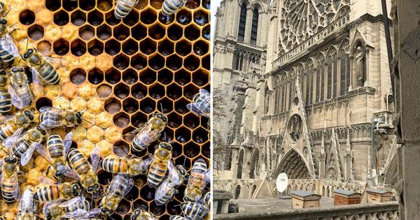 Incendie de Notre-Dame à Paris: des retombées de plomb ont été retrouvées dans du miel