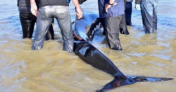 Échouage de dauphins: davantage de chalutiers contraints de s'équiper en pingers