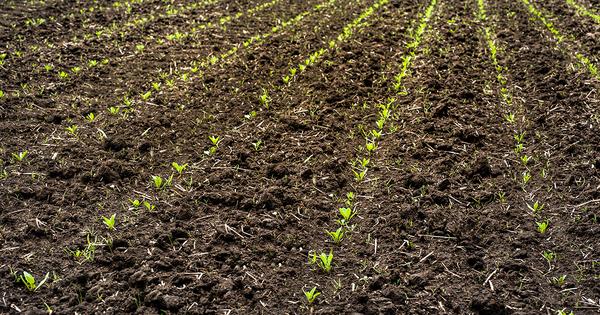 Pesticides néonicotinoïdes: une dérogation et des indemnisations pour la filière de la betterave à sucre