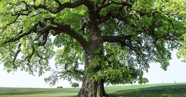 Quelle résistance des chênes aux insectes selon les différents climats européens?