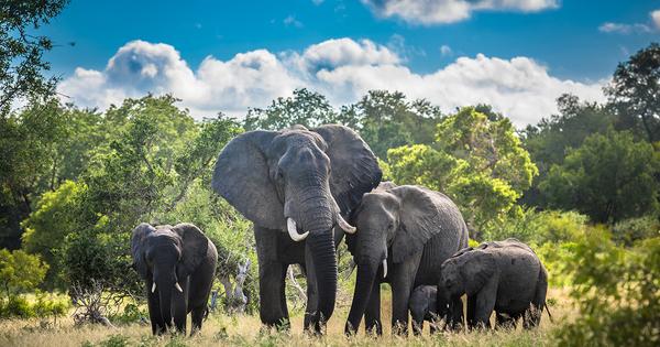 Les éléphants d'Afrique en danger d'extinction