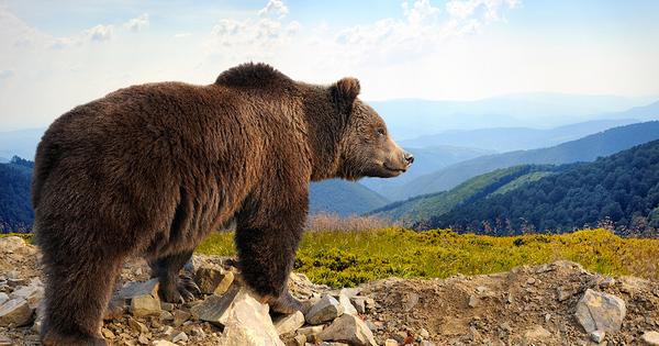 Effarouchement de l'ours: un nouvel arrêté renforce l'encadrement des tirs non létaux