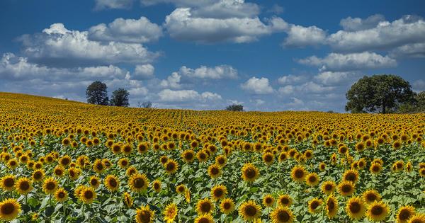 Nouveaux OGM: le Conseil d'État rouvre la procédure contentieuse contre l'exécutif
