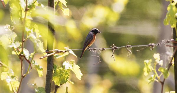 La diversité des oiseaux dans les vignes est dépendante des pratiques agroécologiques