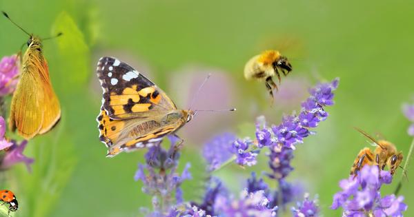 Une espèce d'abeilles et de papillons sur dix est en voie d'extinction en Europe