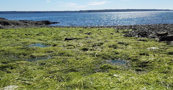 Algues vertes: l'État sommé d'agir sous quatre mois