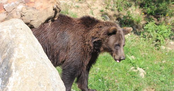 Ours: les mesures d'effarouchement reconduites pour une troisième année