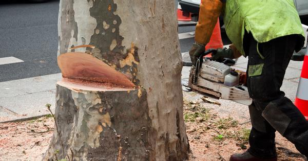 Alignements d'arbres: le Conseil d'État précise les conditions d'abattage