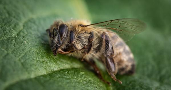 Néonicotinoïdes: le Conseil d'État reconnaît les effets néfastes sur la santé des abeilles