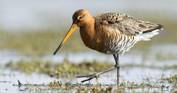 «Statut vert» de l'UICN, une norme mondiale pour mesurer le rétablissement d'une espèce