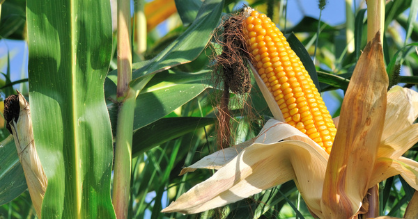 La Commission européenne autorise la mise sur le marché de nouveaux OGM