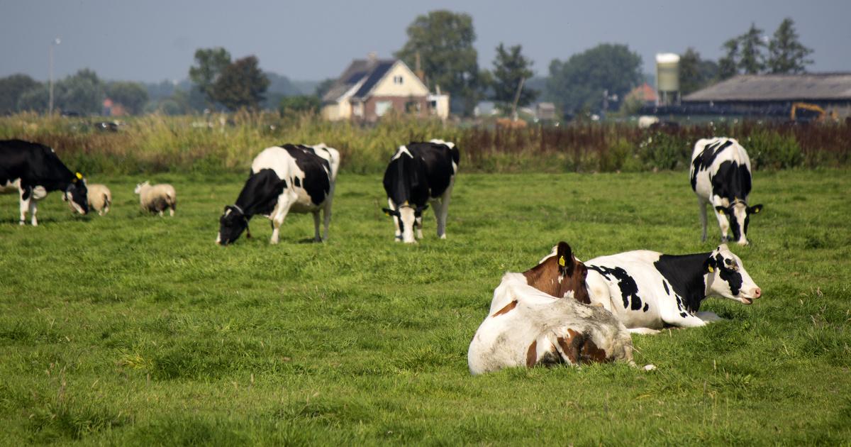 Les Pays-Bas s'attaquent aux émissions d'ammoniac de son cheptel