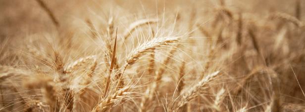 Sécheresse aux USA et en Russie : le système alimentaire mondial fragilisé