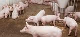 Les élevages porcins vont-ils faire dérailler le régime d'enregistrement ?