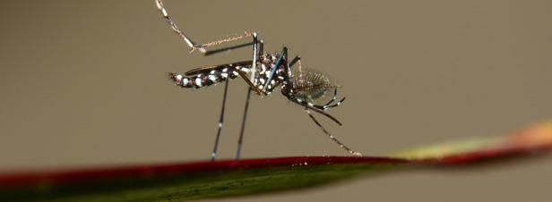 Guyane : un insecticide interdit pour lutter contre le chikungunya