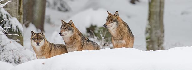 Pourquoi il est possible de tuer des loups alors qu'il s'agit d'une espèce protégée