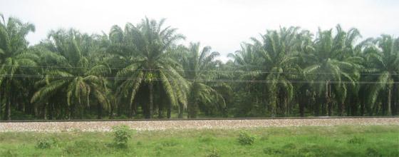 huile - Une huile de palme ''durable'' est-elle possible ? 10641_1ere