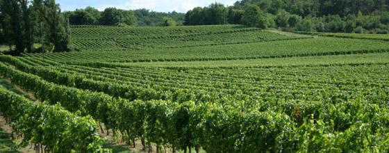 Champ De Vigne pieds de vigne ogm arrachés : quand deux visions de l'agriculture s