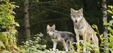 Le loup dans le collimateur du Gouvernement