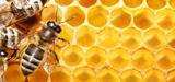 La commercialisation de miel contaminé par du pollen issu d'un OGM est soumise à autorisation