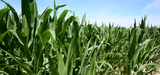 Agrocarburants : des gains environnementaux incertains pour l'Union européenne