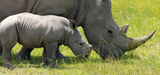 Liste rouge UICN : plusieurs espèces de rhinocéros éteintes ou probablement éteintes
