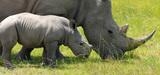 Liste rouge UICN : plusieurs esp�ces de rhinoc�ros �teintes ou probablement �teintes