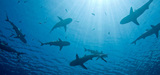 De nouvelles mesures de protection des thons rouges et des victimes collatérales de sa pêche