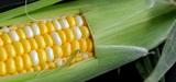 Le Conseil d'Etat met fin au moratoire sur les OGM