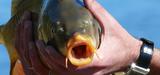 Poissons contaminés aux PCB : l'Anses émet des recommandations plus sévères
