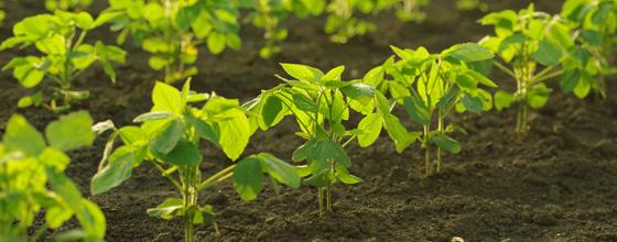 Coexistence des cultures OGM et sans OGM : le HCB recommande une gestion collective locale