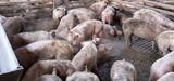 Effluents azotés d'élevage : revoir les systèmes de production pour limiter les impacts