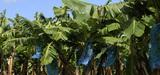 Antilles : le chlordécone omniprésent 20 ans après son interdiction