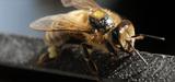 La substance active du Cruiser intoxique les abeilles même à faible dose
