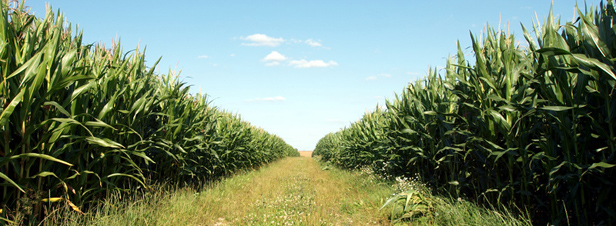En 2010, les cultures de MON810 n'ont pas occasionné de dommages sur l'environnement, selon l'AESA